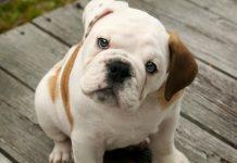 Día mundial del perro: una por una, las razas más caras del mundo