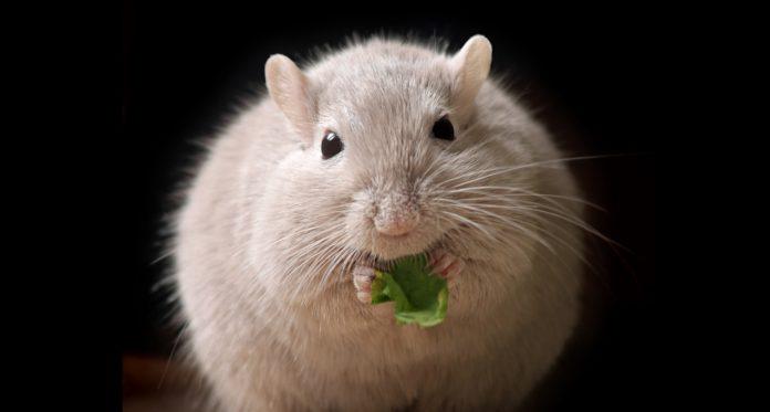 La estimulación temprana da a los ratones beneficios de por vida