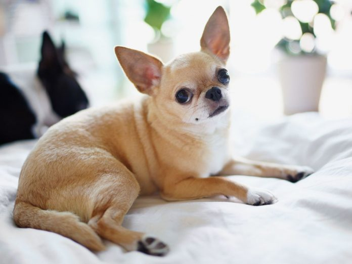 razas de perros más propensas a enfermedades respiratorias