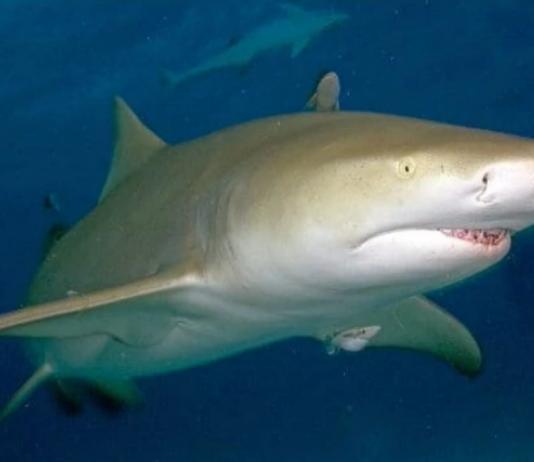 Un tiburón atacó a un surfista y lo arrastró bajo el agua