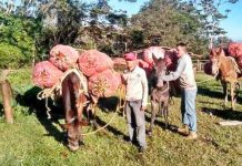 Productores transportan cosechas en mulas obligados por la escasez de combustible