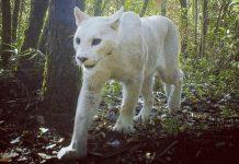 Puma Blanco