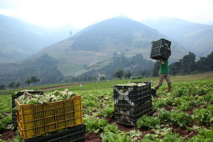 sector agropecuario Productores en Lara utilizan sus cosechas como método de pago