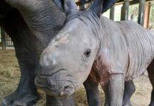 Rinoceronte, animales, zoológico. Foto: EFE