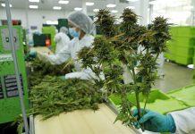 flor seca de cannabis
