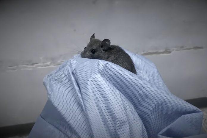 Hospital pediátrico El Algodonal está invadido de ratas y chipos